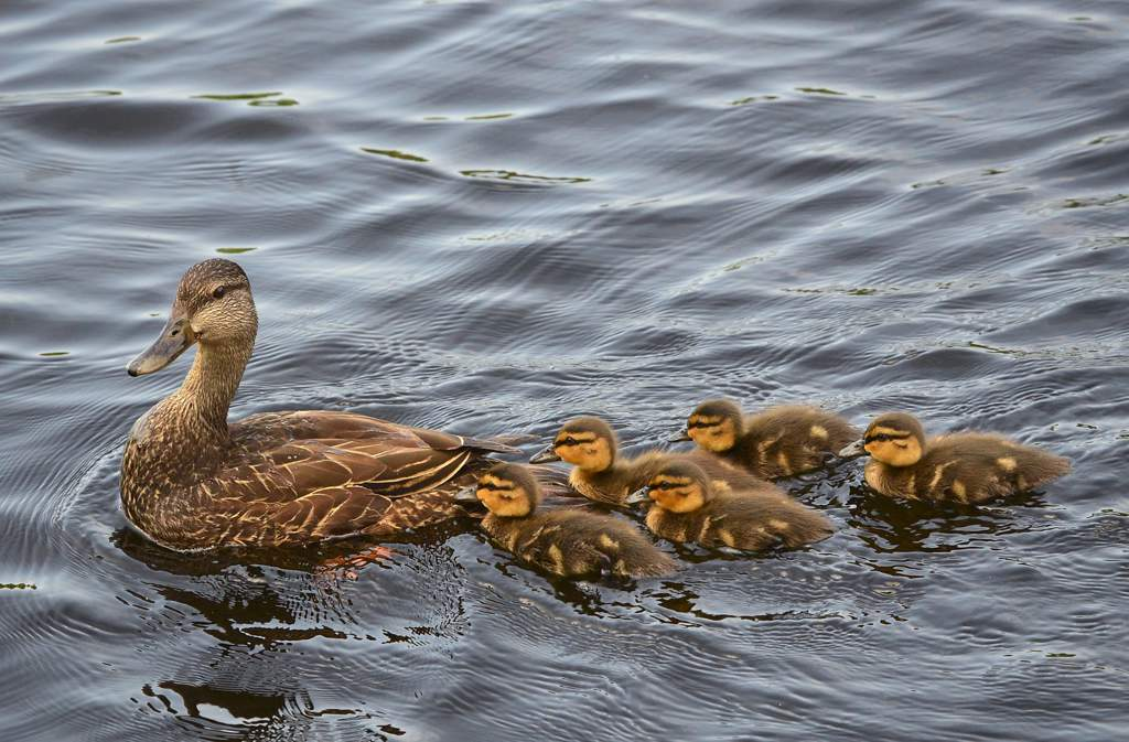 A group of ducklings following their mother.