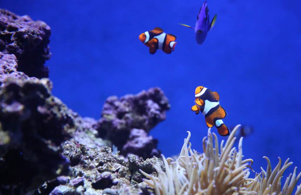 Orange and white tropical clownfish and coral.