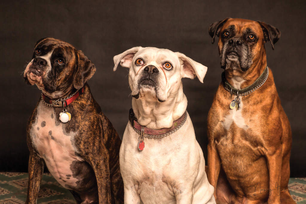 Three boxer dogs looking mournfully at the camera, one brindle, one white and one light brown
